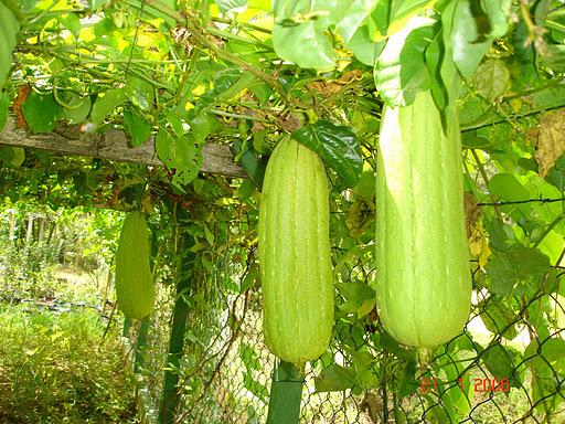 plantas de jardim que gostam de umidade : plantas de jardim que gostam de umidade: cave 2 ou 3 cm de profundidade na terra e coloque 3 sementes de luffa