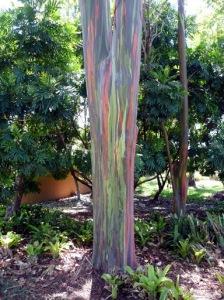 árvores de eucalipto do arco-íris