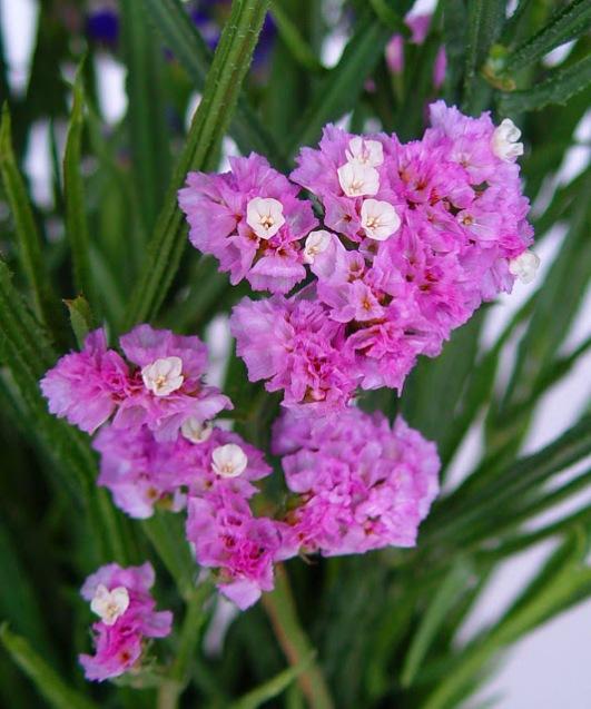 além de serem regados periodicamente A planta aprecia o clima ameno