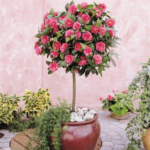 Flores perfumadas paisagismo legal for Camelia japonica in vaso
