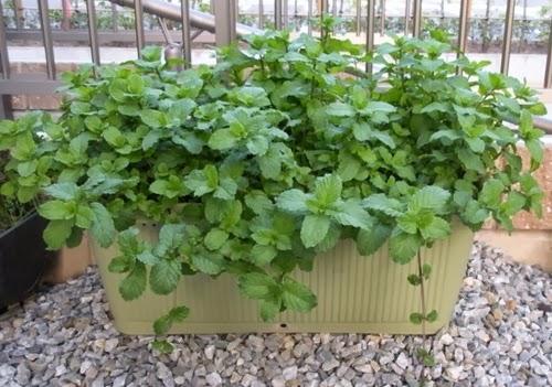 Plantas repelentes paisagismo legal - Plantas contra los mosquitos ...